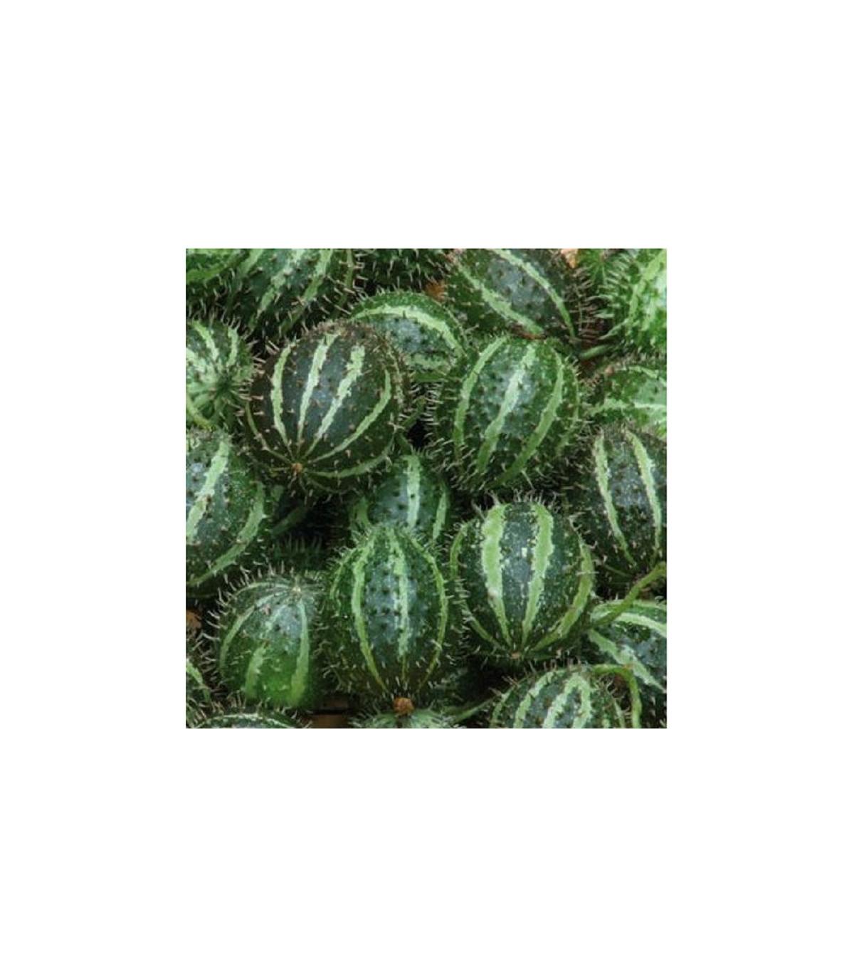 Uhorka egrešová - Cucumis myriocarpus - semená -  6 ks