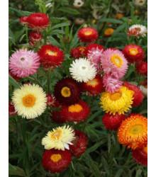 Slamienka zmes na sušenie - Helichrysum bracteatum - semená - 0,3 g