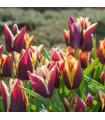 Tulipán Gavota - predaj tulipánov - cibuľoviny - 3 ks