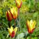 Tulipán nízky Cynthia - cibuľky tulipán - 3 ks