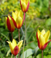 Tulipán nízky Clusiana Chrysantha - Tulipa - cibuľoviny - 3 ks