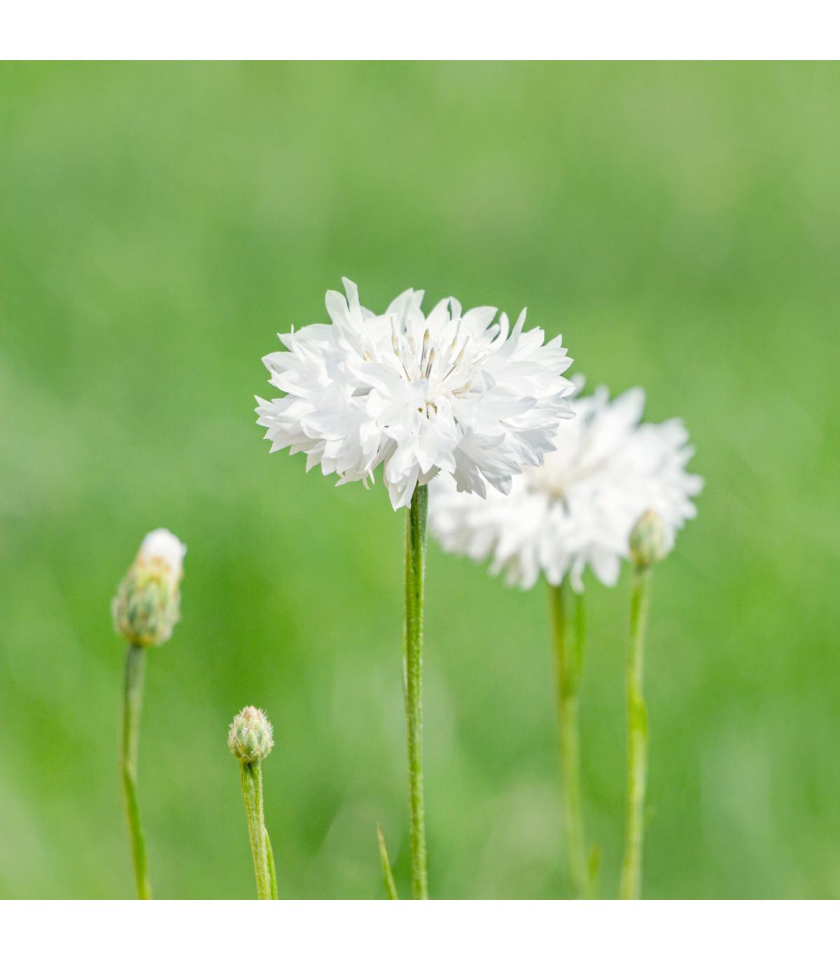 Nevädza lúčna biela - Centaurea cyanus - semená - 45 ks