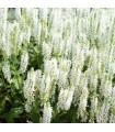 Šalvia Victoria White - Salvia farinacea - semená - 12 ks