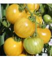BIO paradajka kolíková Topaz - Lycopersicon esculentum - bio semená - 6 ks