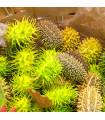 Okrasná uhorka - Cucumis insignis - semená - 6 ks