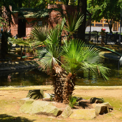 Palma trpasličia- semená- 3 ks