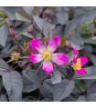 Ruža popínavá ružová - Rosa - predaj semien ruží - semená - 5 ks