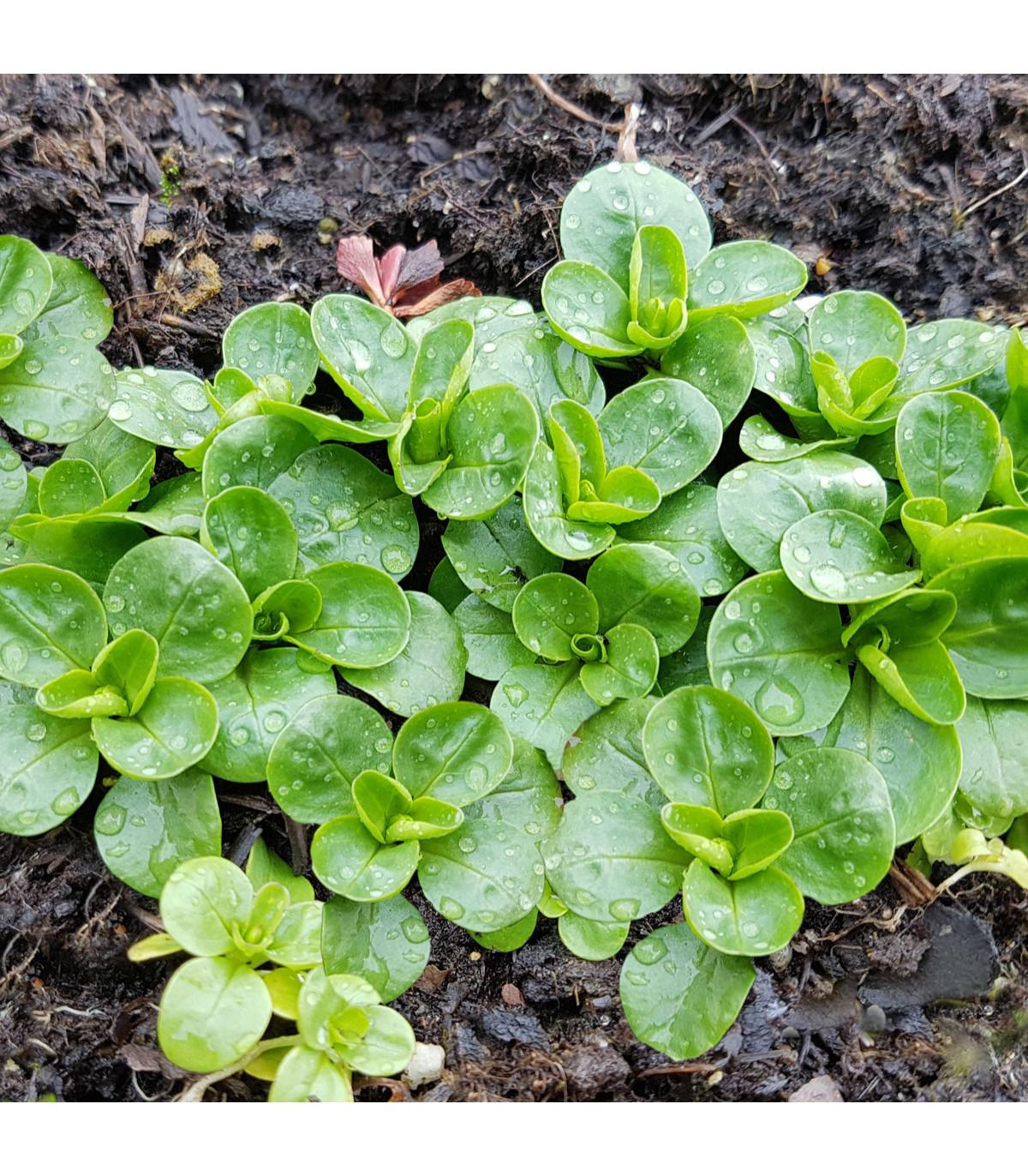 BIO Valeriánka poľná-BIO-semená BIO valeriány-4 gr