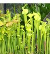 Saracénia náhorná - Sarracenia oreophila - semená - 12 ks