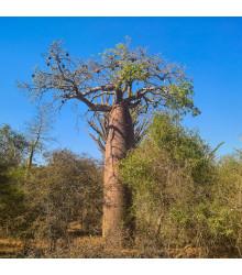 Baobab Fony - Adansonia fony - fľaškový strom - bonsaj - semená - 2 ks