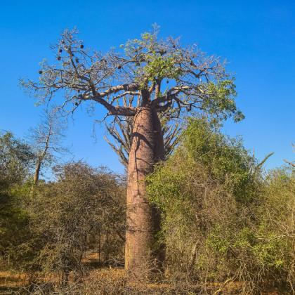 Baobab Fony - fľaškový strom - Adansonia fony - semená baobabu - semiačka - 2 ks