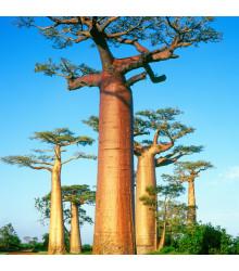 Baobab grandidieri - Adansonia grandidieri - bonsaj - semená - 2 ks