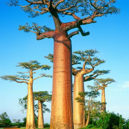 Baobab grandidieri - Adansonia grandidieri - semená baobabu - 2 ks