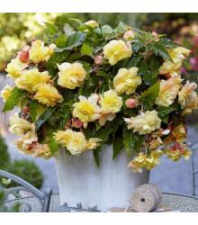 Begónia Sunny Dream - Begonia odorata - previsnuté voňavé begónie - cibuľoviny - 2 ks