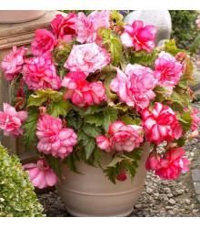 Begónia Pink Balcony - Begonia tuberhybrida - begónie na balkóny - cibuľoviny - 2 ks