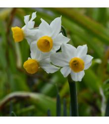 Narcis Canaliculatus - Narcissus canaliculatus - cibuľoviny - 3 ks