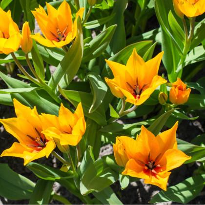 Tulipán viackvetý - Praestans Shogun - predaj cibuľovín - holandské tulipány - 3 ks