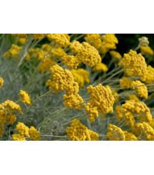 Slamiha talianska - Helichrysum italicum - 0,05 g