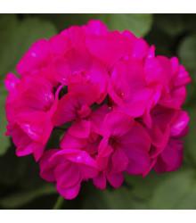 Muškát pásikavý vzpriamený Nekita F1 Deep Rose - Pelargonium zonale - semená - 4 ks