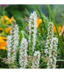 Fakľovka biela Alba - liatra klasnatá - Liatris spicata - cibuľoviny - 5 ks