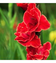 Mečík Atom - Gladiolus - gladioly - cibuľoviny - 3 ks