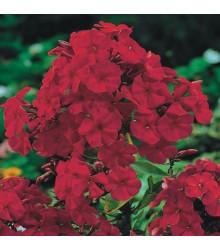 Plamienka červená - flox - Phlox - sadenice plamienky - 1 ks