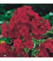 Plamienka červená - Phlox - voľnokorenné sadenice - 1 ks