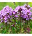 Materina dúška úzkolistá Magic Carpet - Thymus serpyllum - semená - 0,03 g