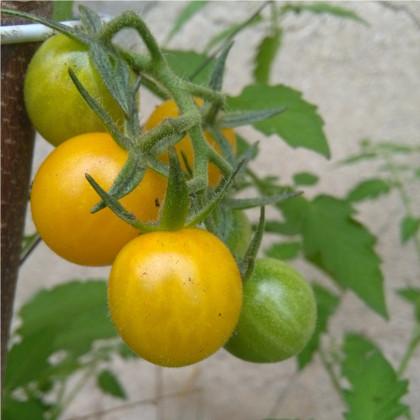 Rajčiak ribezľový Gold Rush - žltá farba - Solanum pimpinellifolium - predaj semien divokých rajčiat - 6 ks