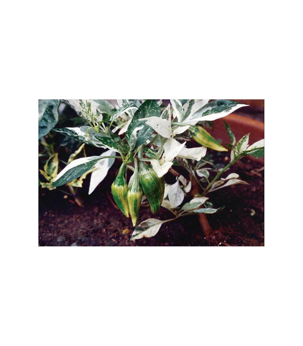 Chilli Fish - Capsicum Annuum - semená - 5 ks
