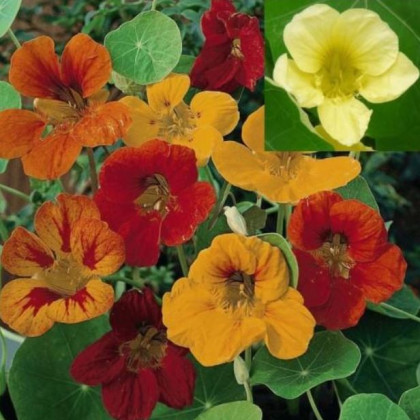 Kapucínka väčšia popínavá zmes farieb - Tropaeolum majus - semená kapucínky - semiačka - 1.5 g