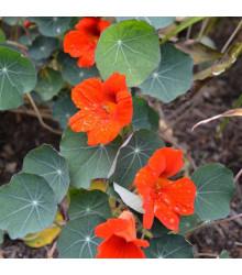 Kapucínka nízka Empress of India - Tropaeolum minus - semená - 15 ks