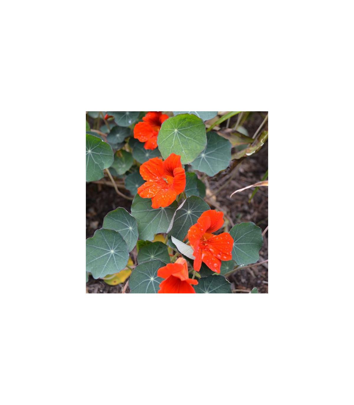 Kapucínka nízka  - Tropaeolum minus - semená kapucínky - semiačka - 2 g