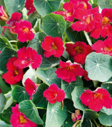 Kapucínka ružová Baby Deep Rose - Tropaeolum Minus - semená - 8 ks