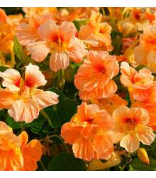 Kapucínka nízka Tip Top Apricot - Tropaeolum Minus - semená - 12 ks