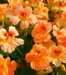 Kapucínka nízka Tip Top Apricot - Tropaeolum Minus - semená - 1,5 g