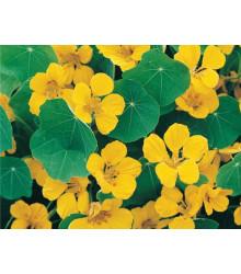 Kapucínka nízka Tip Top Gold - Tropaeolum Minus - semená - 10 ks