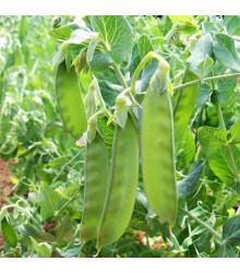 More about Hrach cukrový Sweet Horizon - extra sladká odroda - Pisum sativum - semená - 40 ks