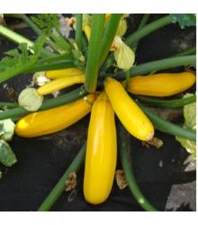 Cuketa Paladin F1 - Cucurbita pepo - tekvica - semená - 10 ks