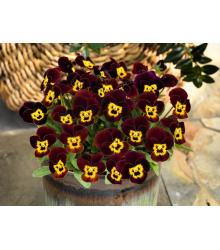 Fialka rohatá Admire Ruby Gold - Viola cornuta - semená - 20 ks