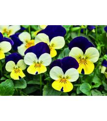 Fialka rohatá Lemon Purple Wing - Viola cornuta - semená - 20 ks