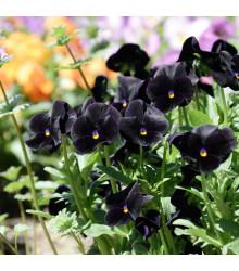 Sirôtka Mariposa Black F1 - čierna - Viola wittrockiana - semená - 20 ks