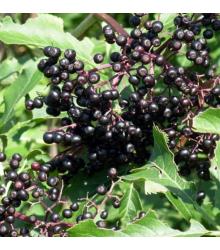 Baza kanadská - Sambucus canadians - semená - 10 ks