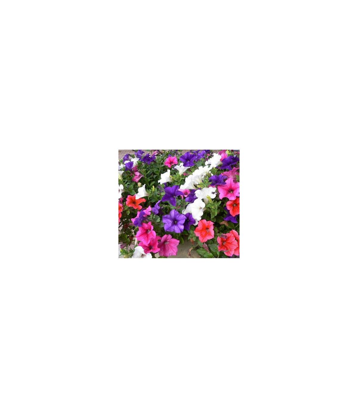 Petúnia veľkokvetá previsnutá - surfínia - Petunia hybrida pendula - semená - 0,05 g