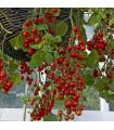 Paradajka kríčková Tumbler - Lycopersicon esculentum - rajčiak - semená - 6 ks