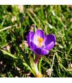 Krókus Flower record - Crocus Vernus - cibuľoviny - 3 ks