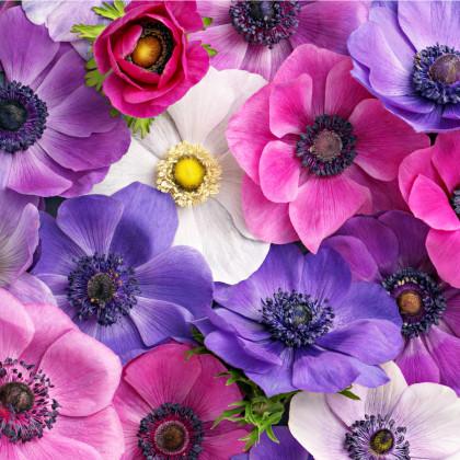 Sasanka plnokvetá - zmes farieb - Anemone - veternica - cibuľoviny - 3 ks