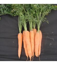 Mrkva Tinga neskorá - Daucus carota - semená - 900 ks