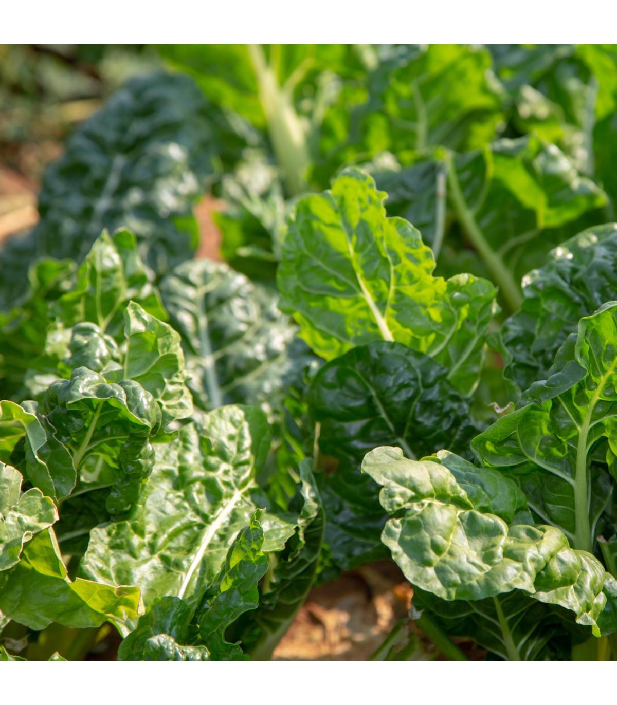 BIO špenát siaty Matador - Spinacia oleracea - bio semená špenátu - 75 ks