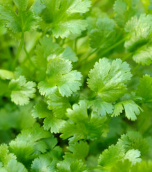 BIO Koriander siaty Caribe - Coriandrum sativum - bio semená - 50 ks